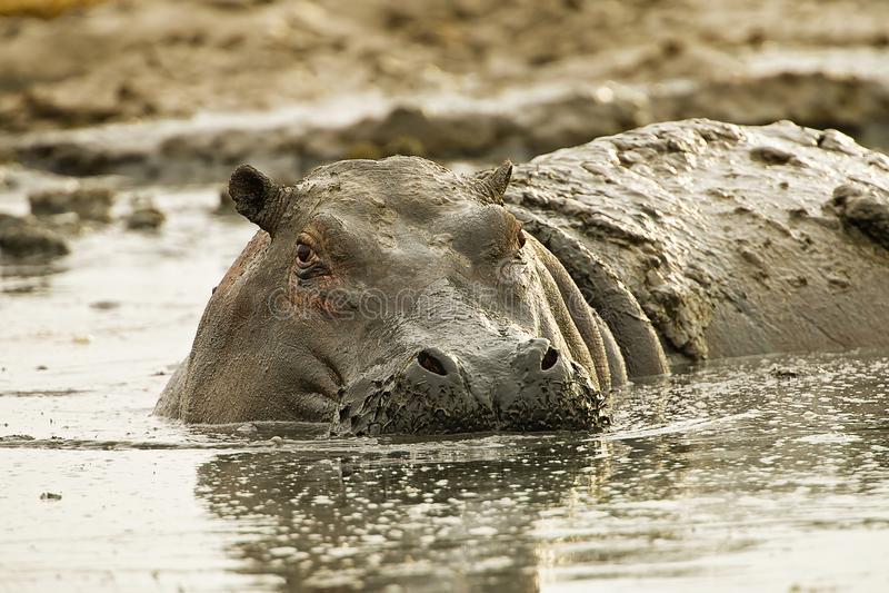 Großes, schlammiges Nilpferd im Dreck und Schlamm lizenzfreie stockfotos