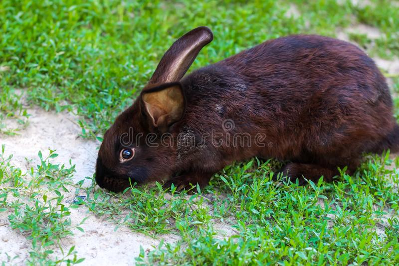 Großes Schwarzes mit braunen Kaninchenwegen auf einem grünen Rasen stockfotografie