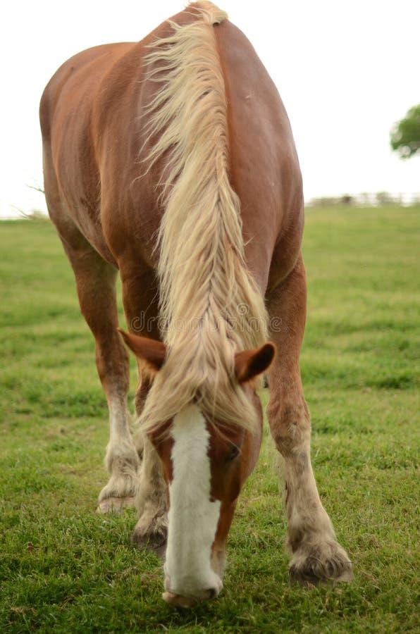 Großes teures Pferd stockbild