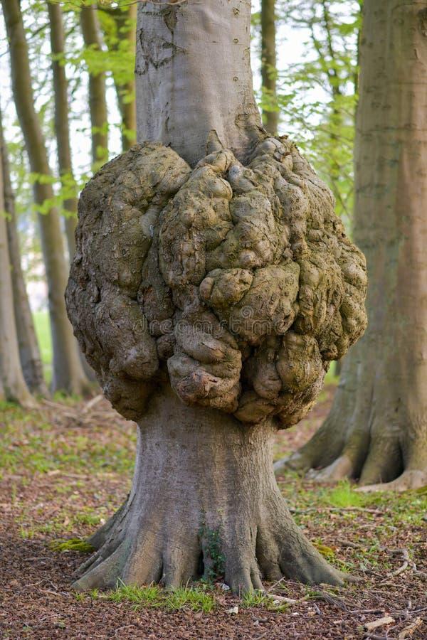 Großes Wachstum auf einer Baumstamm Krankheit einer Baumrinde lizenzfreie stockfotos