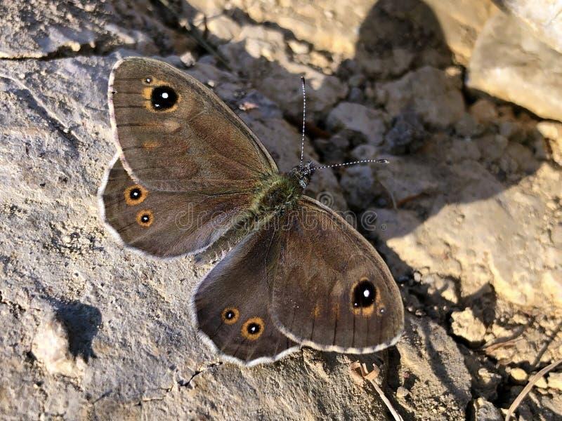 Großes Wand-Brown-Schmetterling Lasiommata-maera oder Braunauge Weibchen lizenzfreies stockfoto