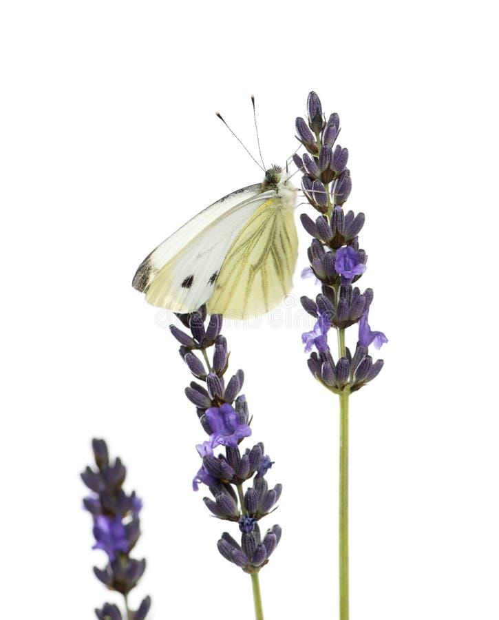 Großes Weiß, Pieris brassicae stockfotografie