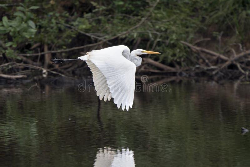 Großes weißes großes Reiherreiher-Vogelfliegen stockbilder