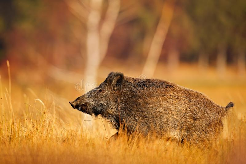 Großes wildes Schwein in der Graswiese, Tierbetrieb, Slowakei Herbst im Waldwilden Eber, laufend Sus scrofa, in die Graswiese, stockfotografie