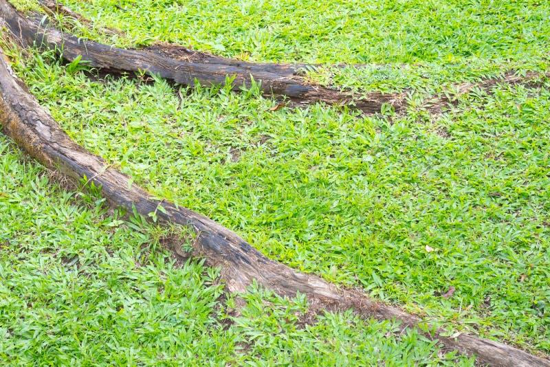 Große alte Baumwurzeln auf grüner Rasenfläche stockfoto