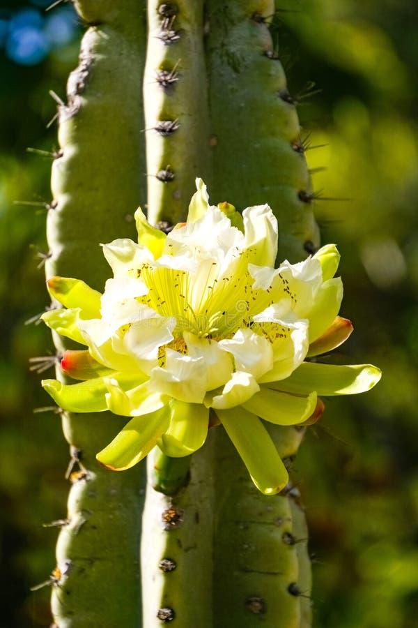 Große peruanische Apfelkaktusblume, Kalifornien lizenzfreie stockbilder