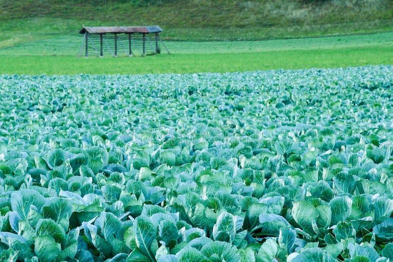 Großer bunter Kohl archiviert auf einem Landschaftsbauernhof stockfoto
