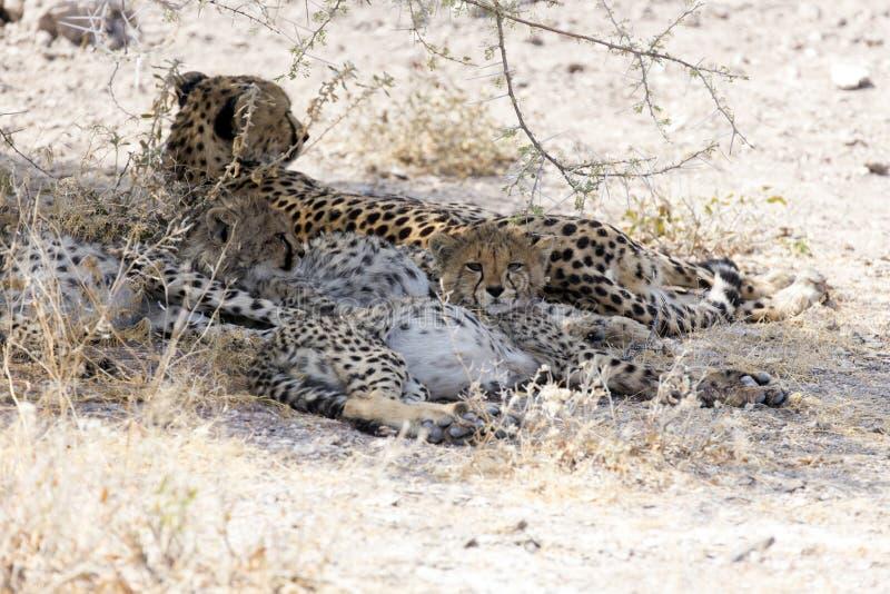 Großer Gepard mit jungem lizenzfreie stockbilder