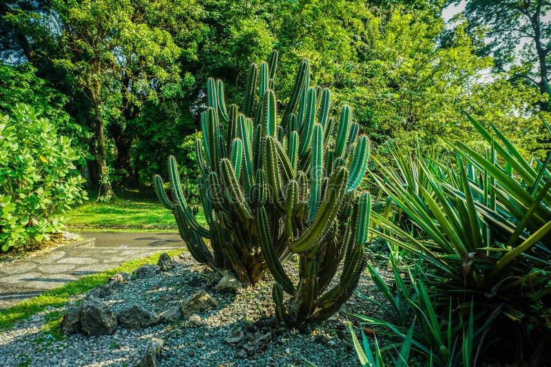großer Kaktus auf Seite der Straße oder Bahn auf dem Park in Bogor Indonesien stockfotos