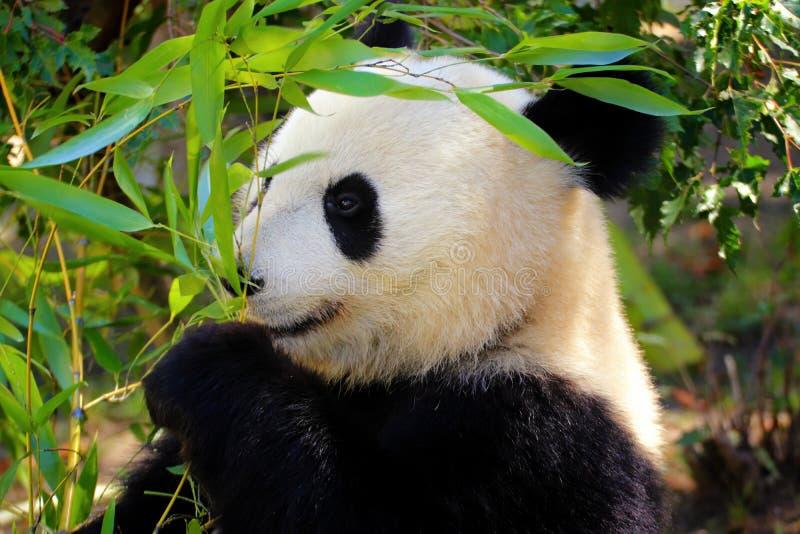 Großer Panda mit Bambus lizenzfreie stockfotos