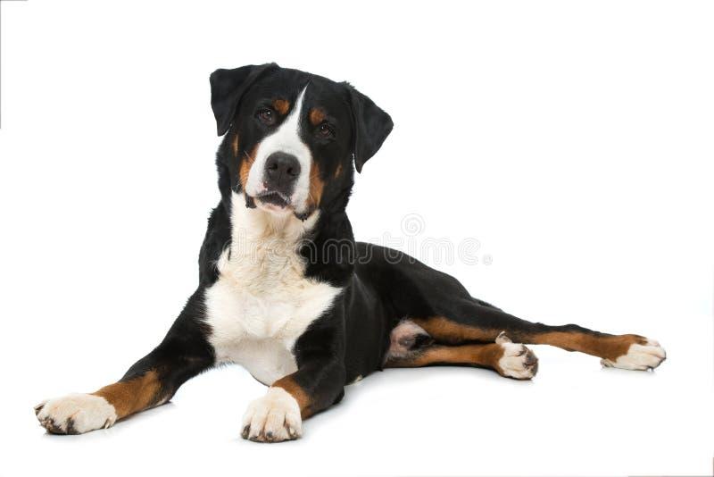 Swiss mountain dog on white background royalty free stock image