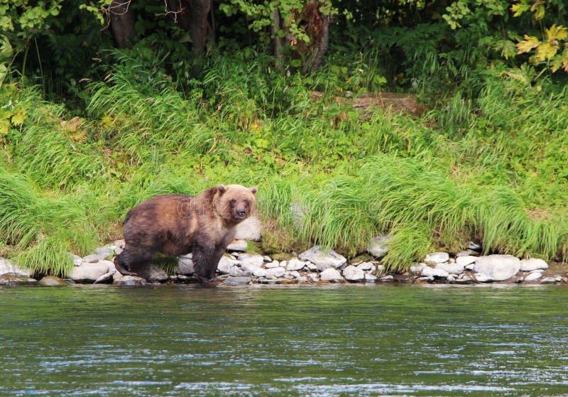 Großer wilder Bär geht durch Fluss stockbild