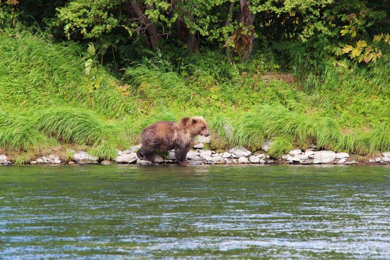 Großer wilder Bär geht durch Fluss stockfoto