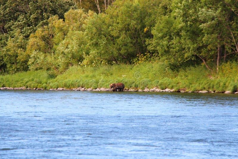 Großer wilder Bär geht durch Fluss lizenzfreie stockbilder