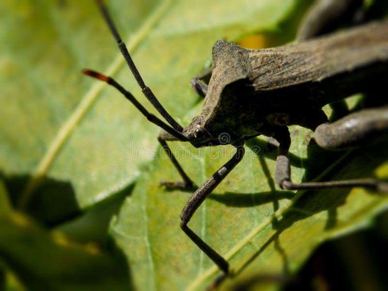 Großes Blatt-füßiges Insekt lizenzfreie stockfotos