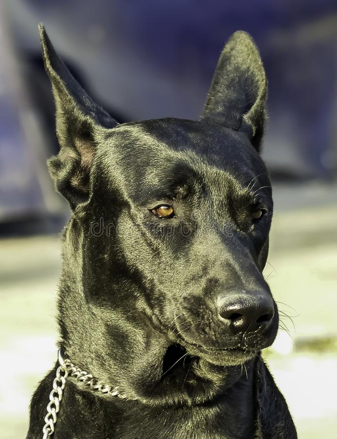 Großes schwarzer Hundeporträt mit unscharfem Hintergrund draußen Tageslicht stockfotos