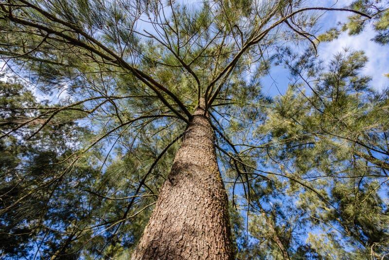 Gro?aufnahme des alten und gro?en Baums, von unten zum Treetop mit gr?nen Bl?ttern Blauer Himmel ist durch die Baumaste sichtbar lizenzfreies stockfoto