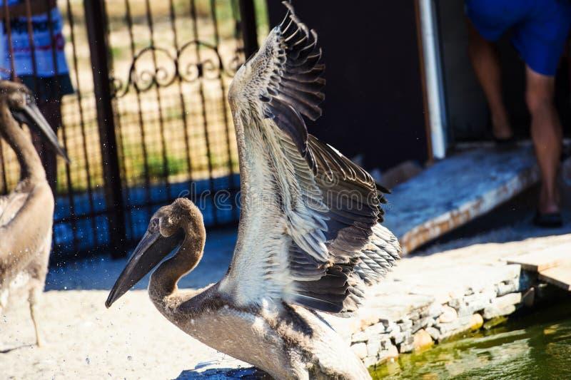 Gro?e Schwimmen des wei?en Pelikans auf See und spritzt Wasser stockbilder