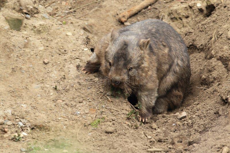 Grob-haariges Wombat stockfotos