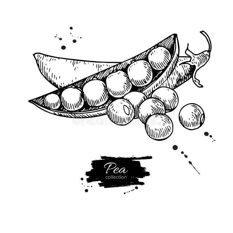 Grochowa ręka rysująca wektorowa ilustracja Odosobniony warzywo grawerujący stylowy przedmiot Szczegółowy jarski karmowy rysunek ilustracja wektor