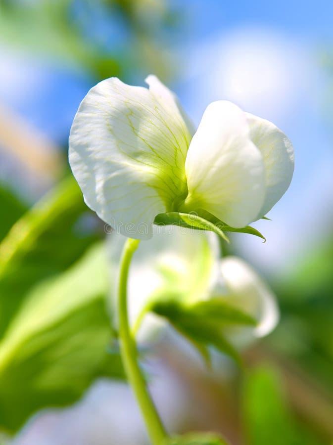 grochowa roślina zdjęcia stock