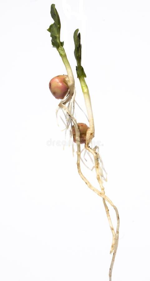 grochowa roślina obrazy royalty free