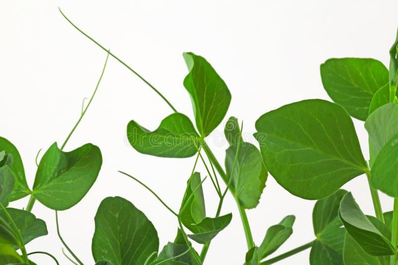 Grochowej rośliny krzak zdjęcia stock