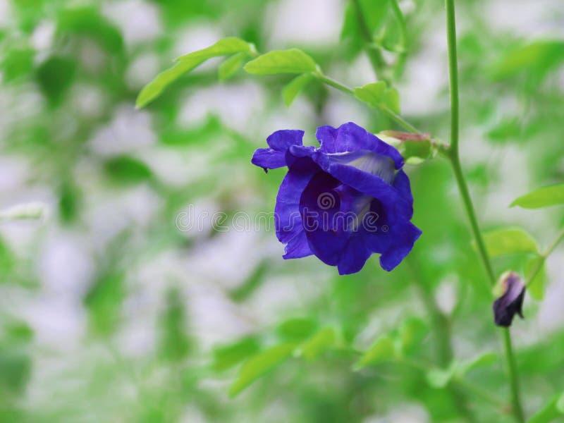 Grochowi kwiaty obrazy stock