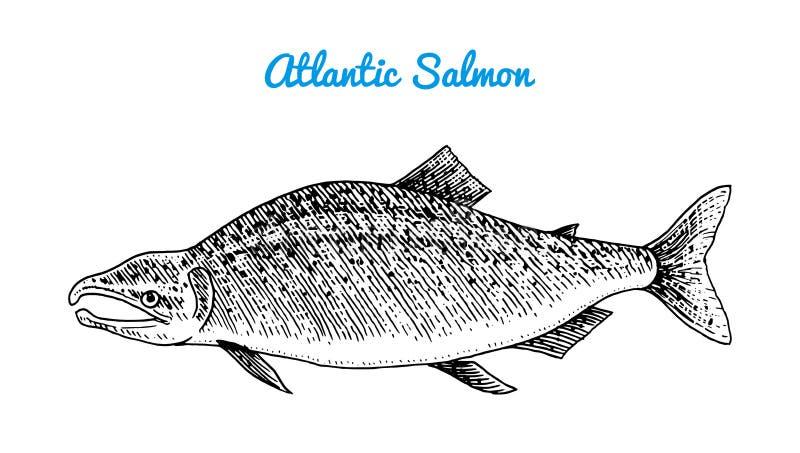 Grodägg för atlantisk lax Flod- och sjöfisk Havsvarelser Sötvattens- akvarium Skaldjur för menyn inristad hand royaltyfri illustrationer