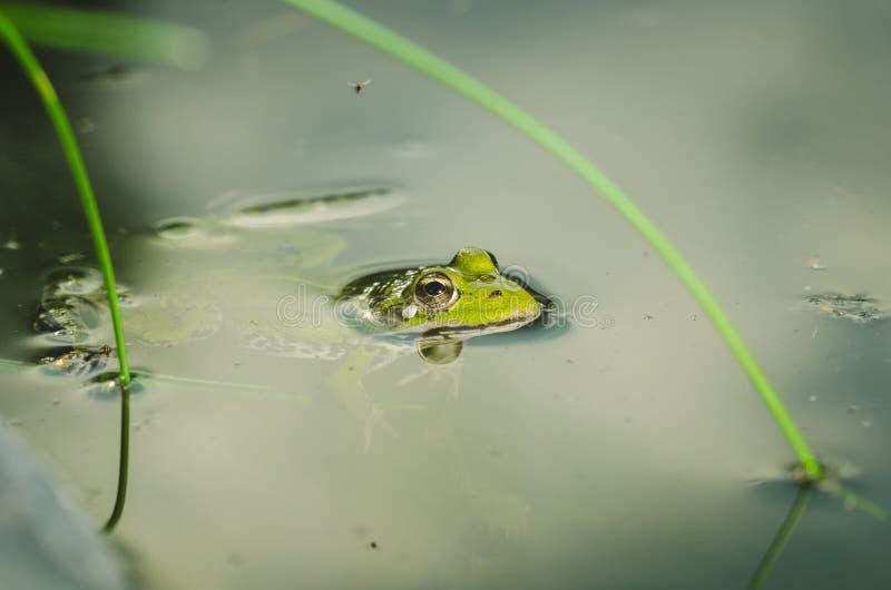 Groda En groda i vatten i naturen Ett sammantr?de f?r gr?n groda i dammet royaltyfria foton