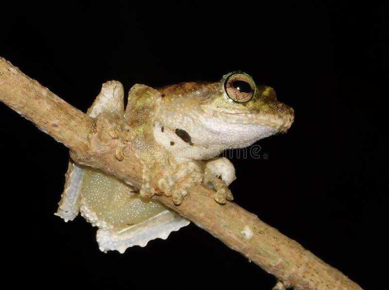 Groda för Litoria myola-Kurandaträd arkivfoto