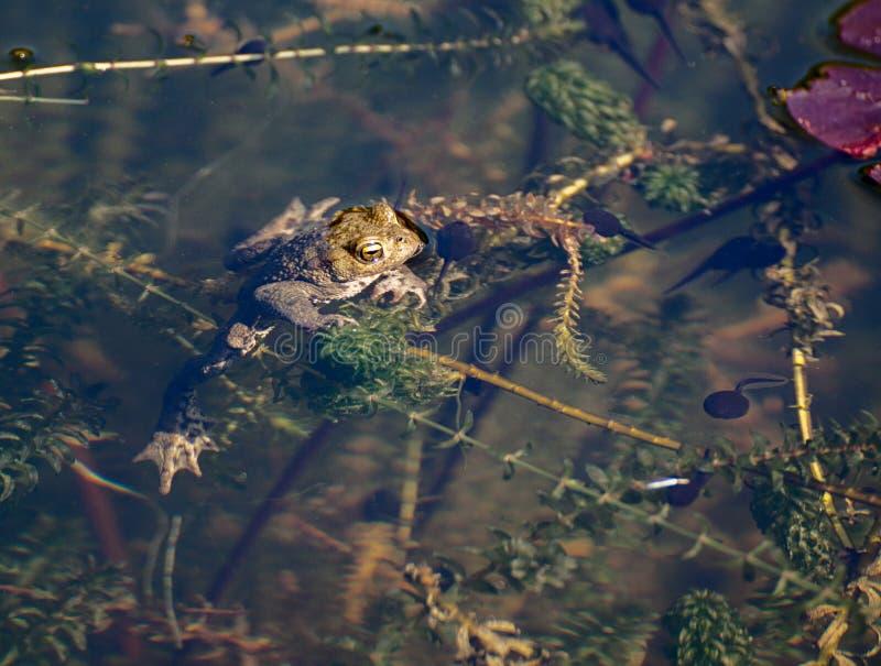 Groda i dammet med grodynglar fotografering för bildbyråer