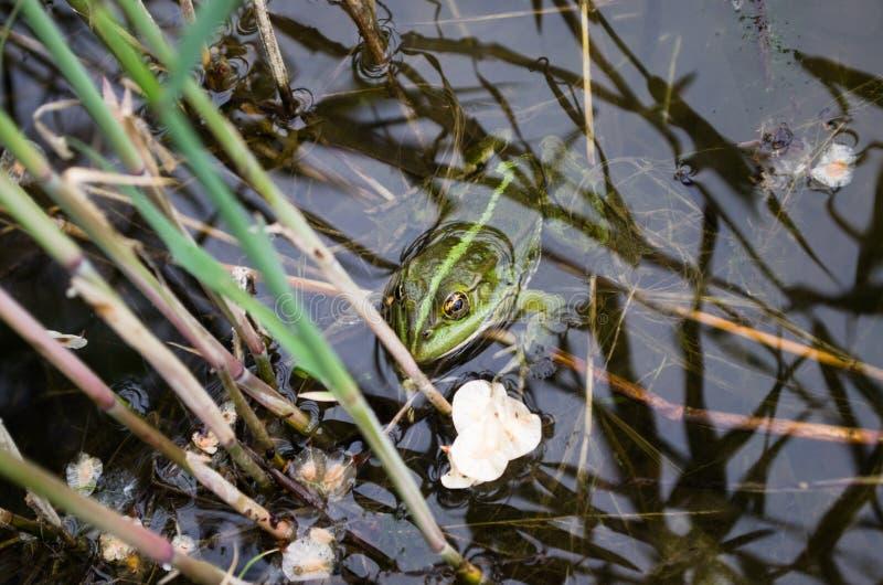 Groda i den hanted floden royaltyfria foton