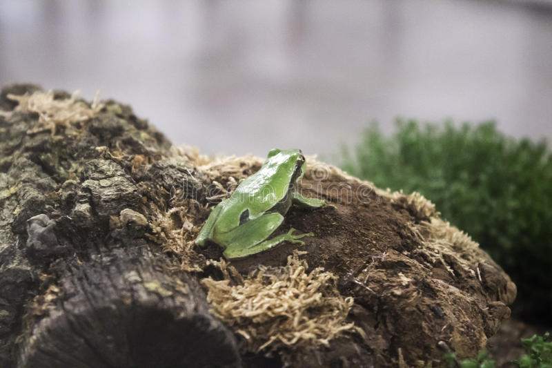 Groda i terrarium fotografering för bildbyråer