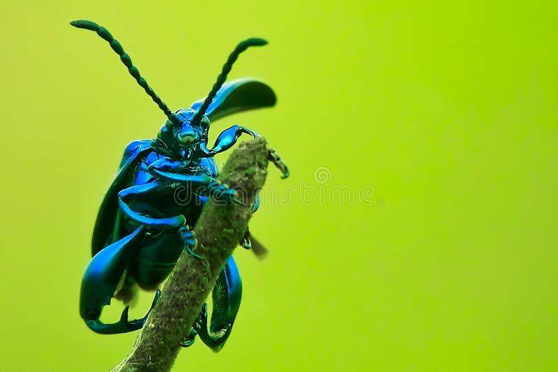 Groda-lagd benen på ryggen bladskalbagge arkivfoton