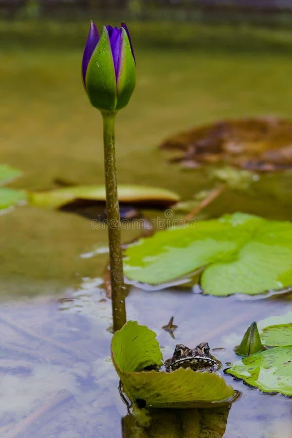 Groda och en lotusblomma arkivfoton