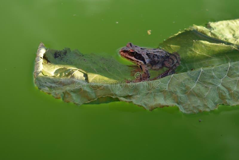 Groda på ett grönt blad i pölslut upp fotografering för bildbyråer