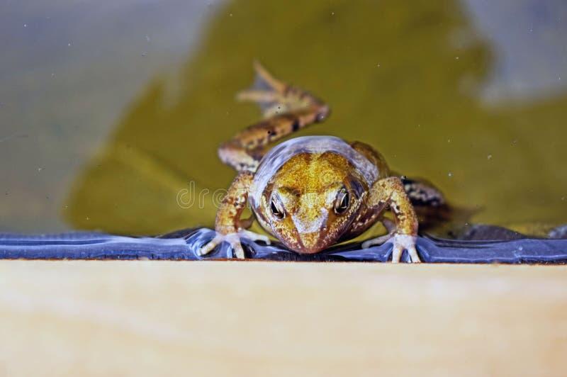 Groda som upp klättrar sidan av dammet royaltyfria bilder