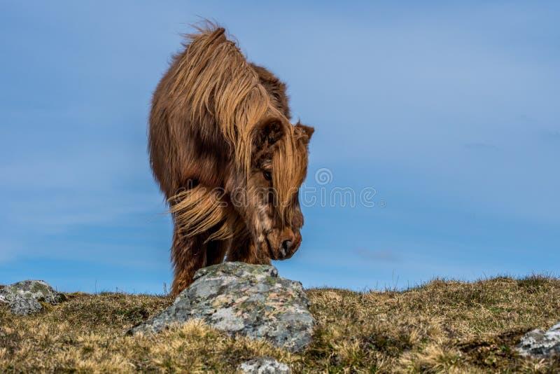 Grodaperspektiv av den kulöra isländska hästen för kastanj fotografering för bildbyråer