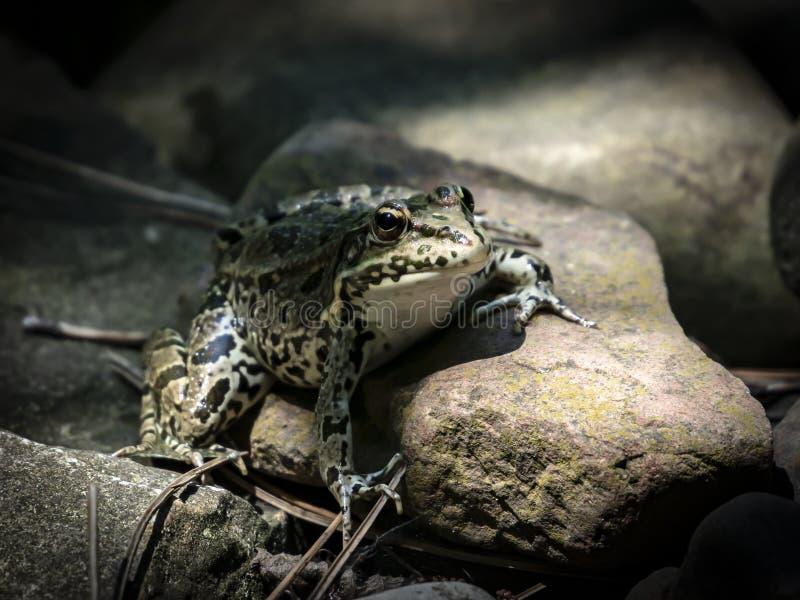 GrodaRanaridibunda i den naturliga livsmiljön royaltyfri fotografi