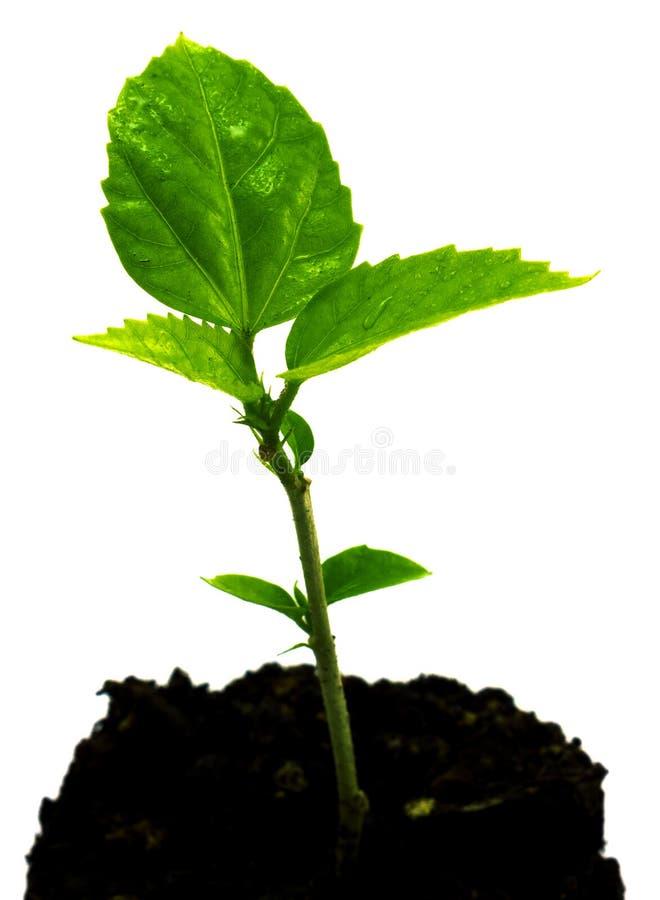 Grodd av den gröna unga växten med daggdroppar i den isolerade jordningen arkivbild