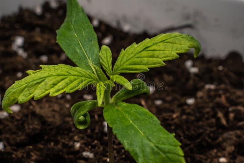 Grodd av den medicinska marijuanaväxten som inomhus växer Cannabisväxt royaltyfri foto