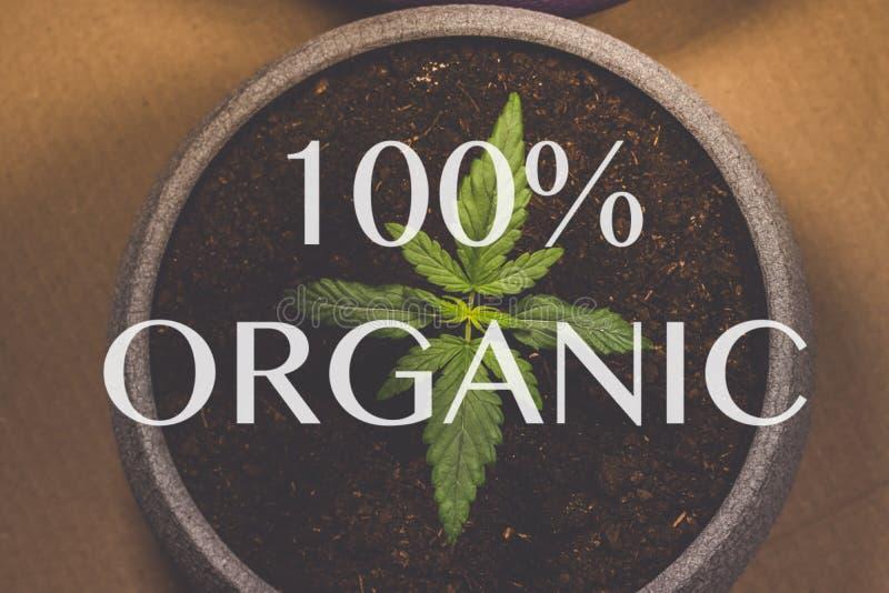 Grodd av medicinsk marijuana Marijuanaväxt som inomhus växer cannabis Legalisering över hela världen arkivbild