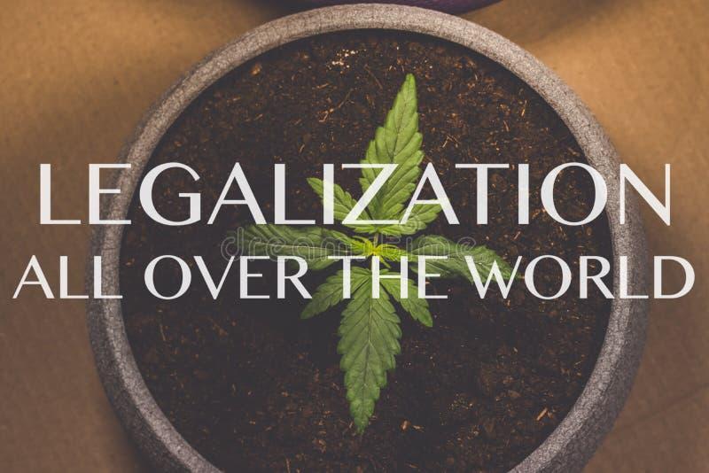 Grodd av medicinsk marijuana Marijuanaväxt som inomhus växer cannabis Legalisering över hela världen royaltyfri foto