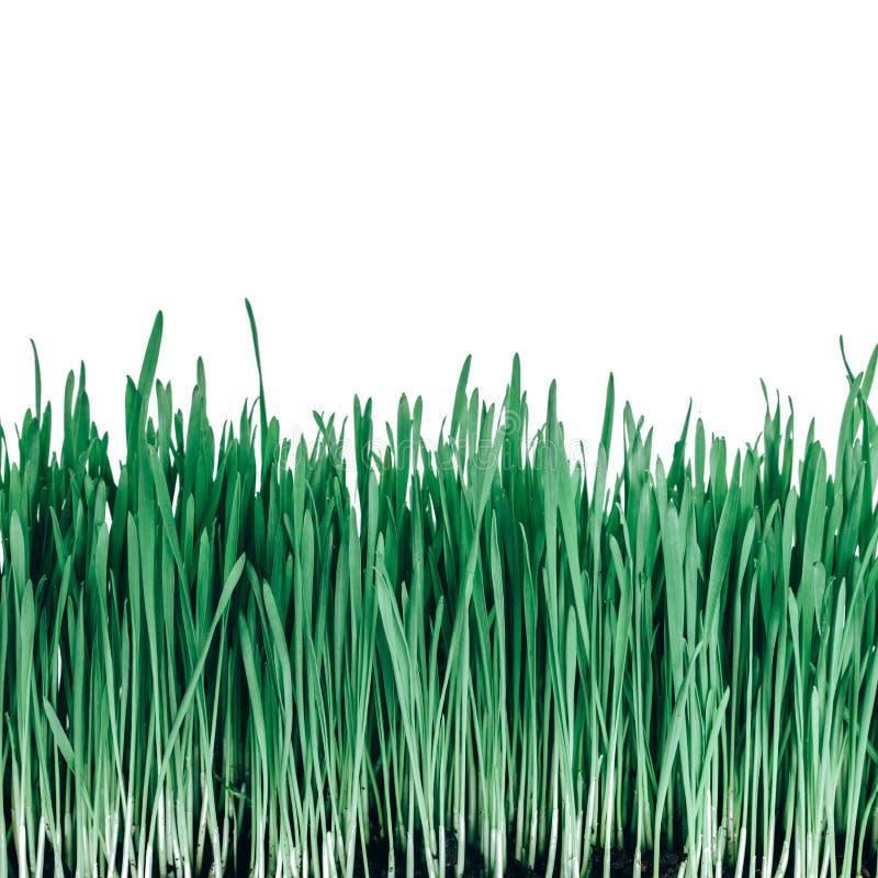 Groddar av grönt vetegräs arkivfoto