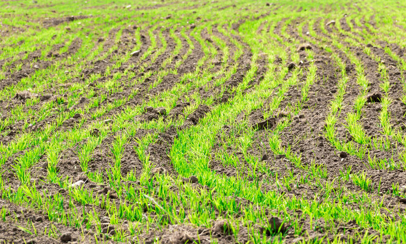 Groddar av Secale Cereale på ett fält fotografering för bildbyråer
