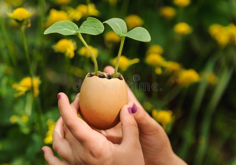 Groddar som växer från ett äggskal royaltyfria bilder