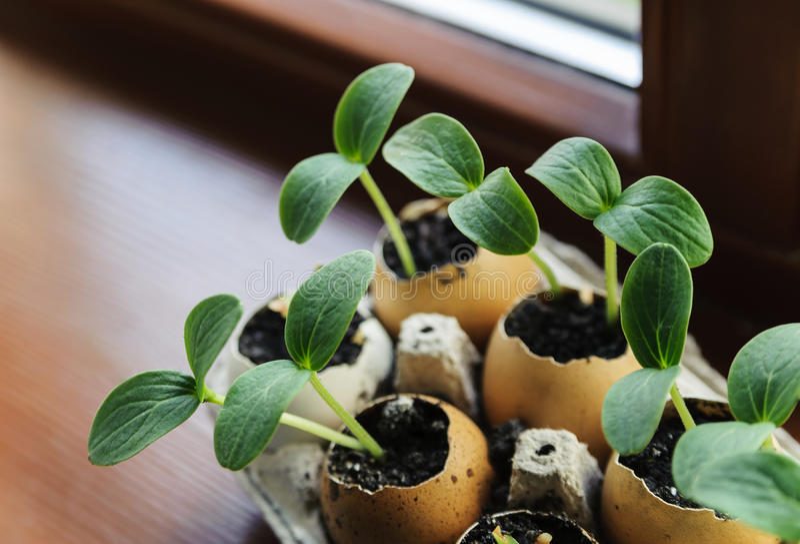 Groddar som växer från ett äggskal royaltyfri bild