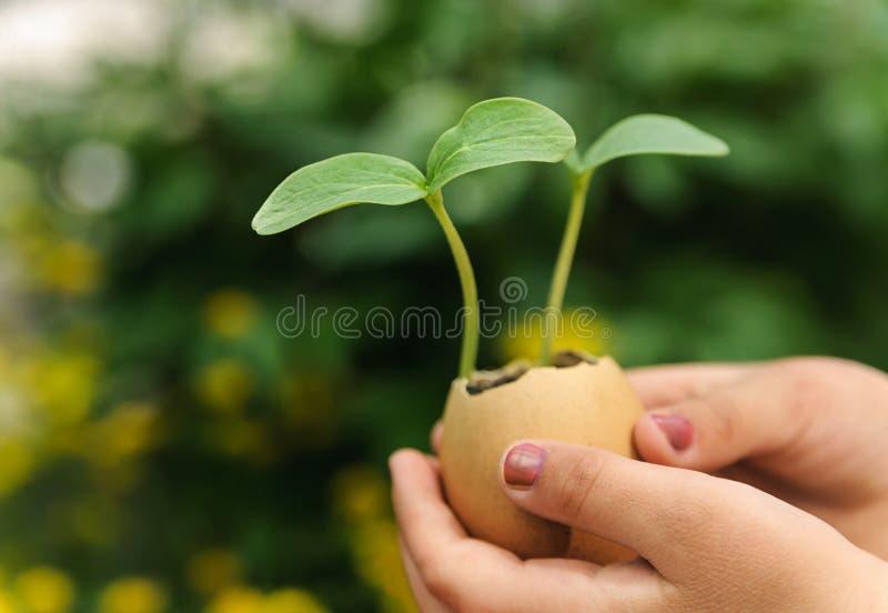 Groddar som växer från ett äggskal arkivfoton