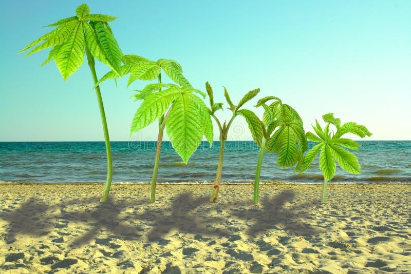 Grodden av det kastanjebruna trädet är som palmträdet, växter på sand arkivfoto